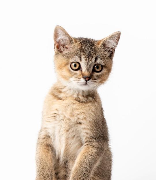 子猫の金色のカチカチ音をたてるイギリスのチンチラは、白い背景の前にまっすぐ座っています。カメラを見ている猫 Premium写真