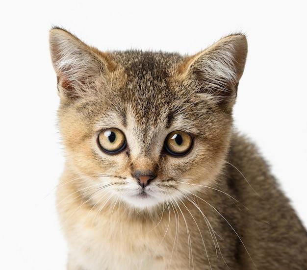 Котенок золотой тикированной британской шиншиллы прямо сидит на белом фоне. кот смотрит в камеру Premium Фотографии