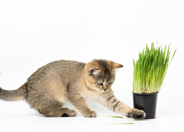 Kitten golden ticked scottish chinchilla straight sits on a white surface, next to a pot of growing green grass Premium Photo