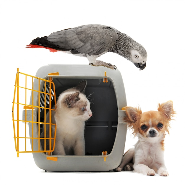 Kitten in pet carrier, parrot and chihuahua Premium Photo