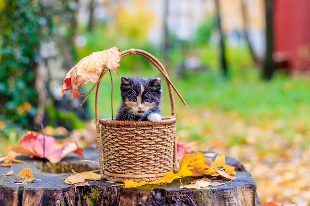 Kitten sitting in the basket. kitten on a walk in autumn. pet. Premium Photo
