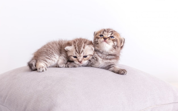 Kitty cats on the pillow. Free Photo