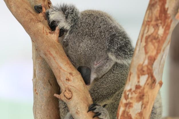 Koala bear sleeping on the tree. Premium Photo