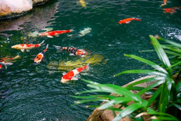 Premium Photo | Koi fish in the found, japanese garden