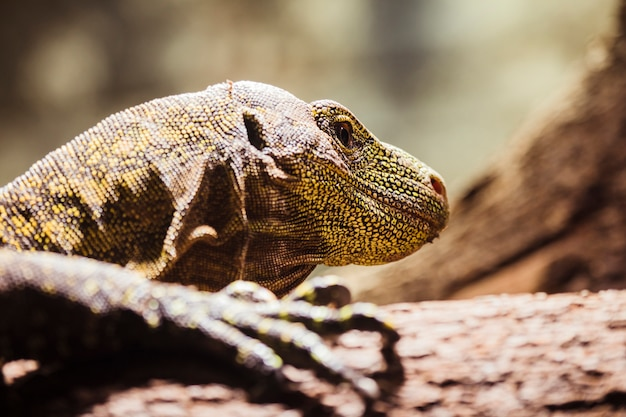 Komodo dragon Free Photo