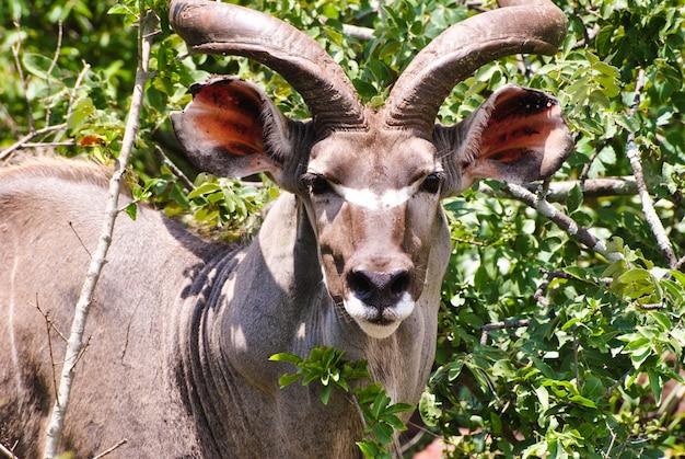 Kudu in piedi davanti alle piante verdi Foto Gratuite