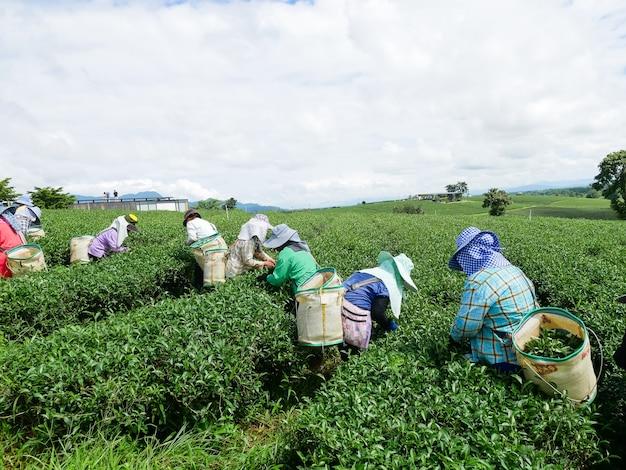 Labor picking green tea leaves at tea farm Premium Photo