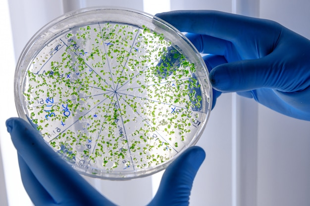 Laboratory worker examining a green substance on a petri dish while conducting coronavirus research Free Photo