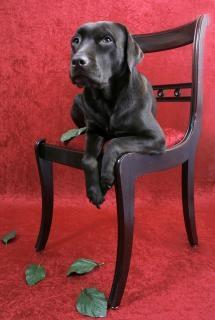 Labrador dog on chair Free Photo