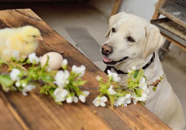 ラブラドール犬は木製のテーブルで2つの小さな鶏を見る Premium写真