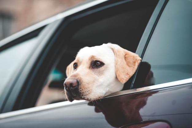 Лабрадор смотрит в окно машины Premium Фотографии