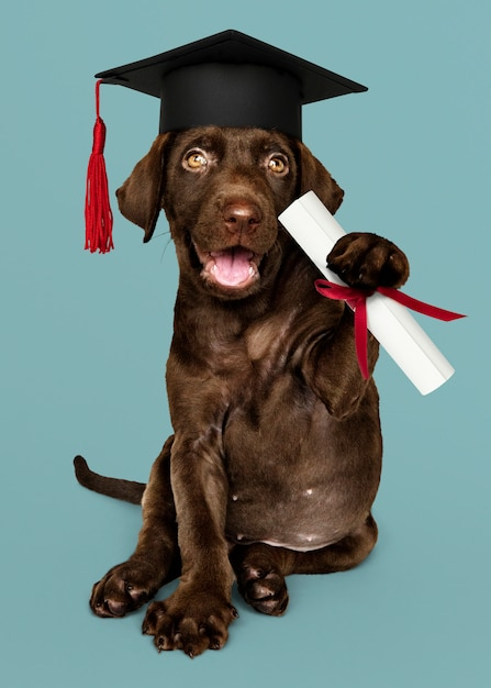 Labrador puppy graduating Premium Photo