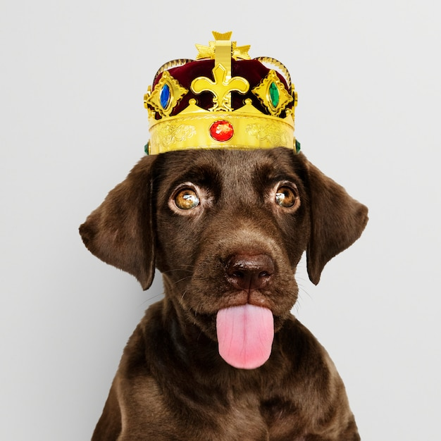 Labrador puppy wearing crown Free Photo