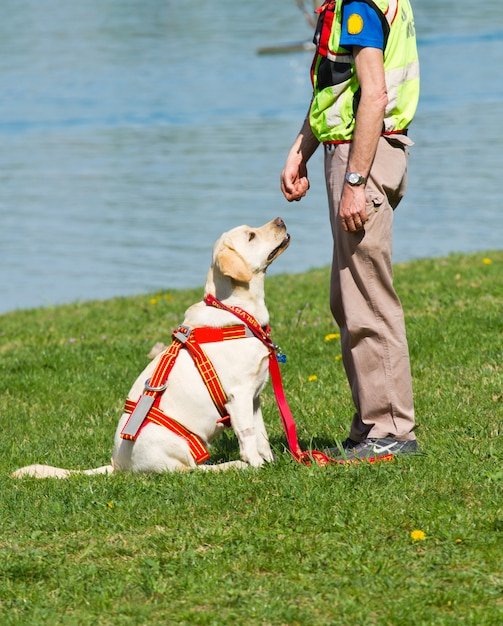 Labrador rescue dog Premium Photo