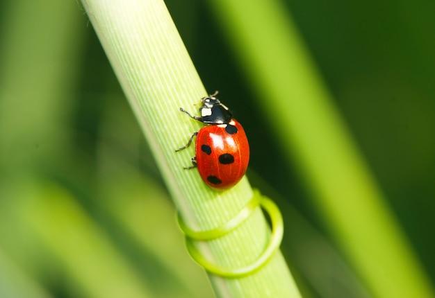 Ladybug crawling on grass stalk Premium Photo