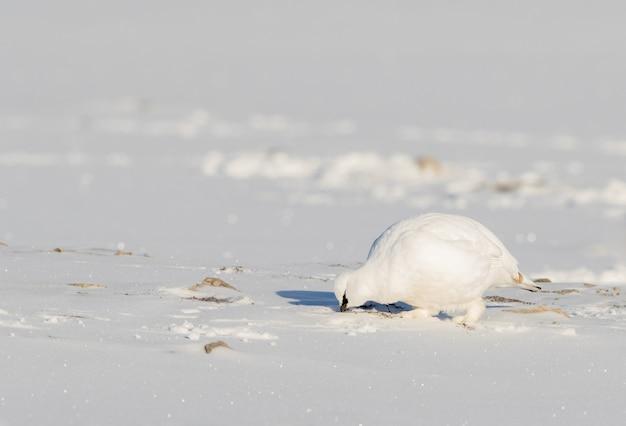 スバールバル諸島で雪の中で食べ物を探して、スバールバル諸島の岩のライチョウ、lagopus muta hyperborea、冬の羽を持つ鳥 Premium写真