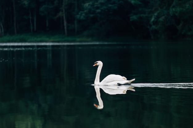Lake with a white swan Premium Photo