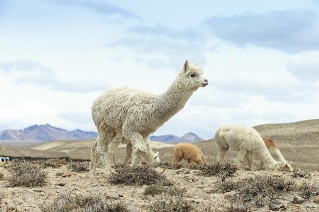 Ламы в андах, горах, перу Premium Фотографии