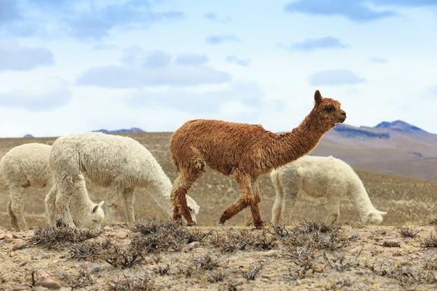 Ламы в андах, горы, перу Premium Фотографии