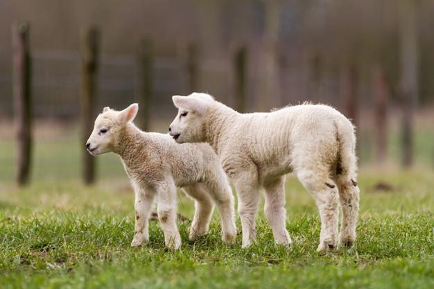 Lamb Premium Photo