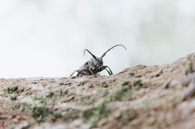 Lamiatextor-木の樹皮に生息するエゾカミキリ。 Premium写真