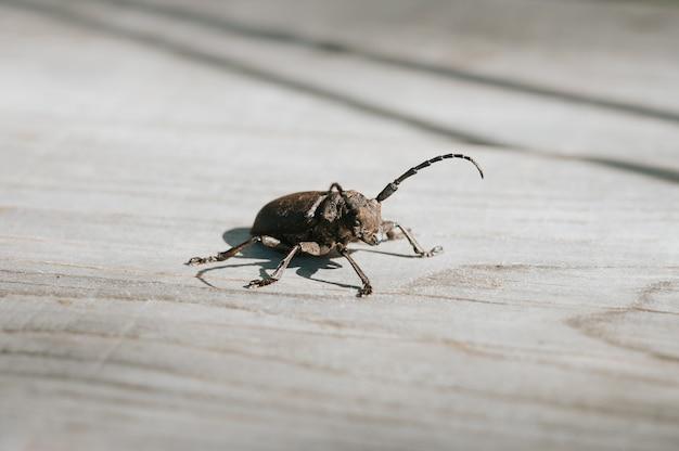 Lamiatextor-木の板にエゾカミキリの昆虫 Premium写真