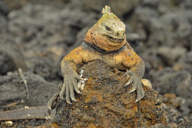 Land iguana in natural environment Premium Photo