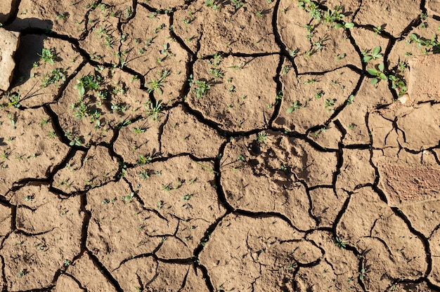 Land with dry and cracked ground, with young plants growing out. background texture. top view Premium Photo