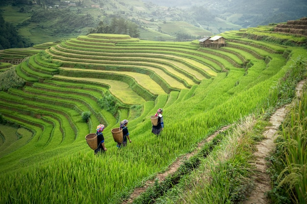 Landscape of asian terraced rice field Premium Photo