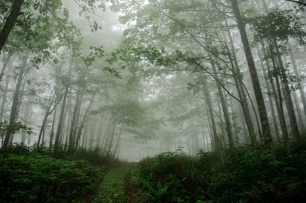 Landscape of a deep forest covered in fog Premium Photo