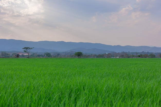 Landscape of green rice field  with mountain on background Premium Photo
