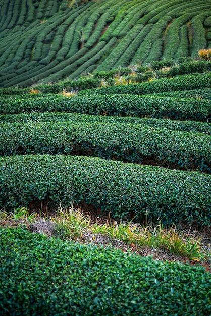 Landscape of green tea plantation Premium Photo