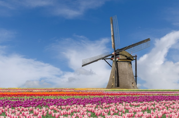 Landscape of netherlands bouquet of tulips and windmills in amsterdam, netherlands. Premium Photo