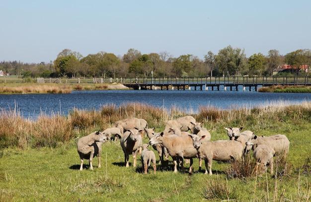 木々に囲まれた川のある田園地帯の羊の風景写真 無料写真