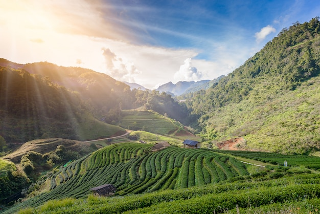 Landscape of tea plantation at doi ang khang Premium Photo