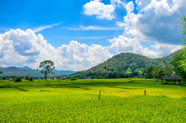 Landscape view of green rice field Premium Photo