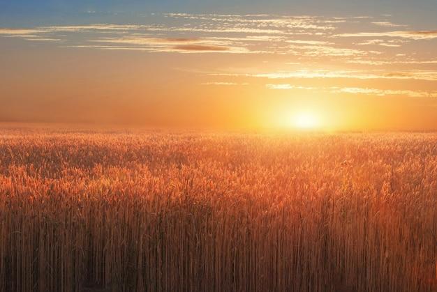 Пейзаж с пшеничным полем на закате Premium Фотографии