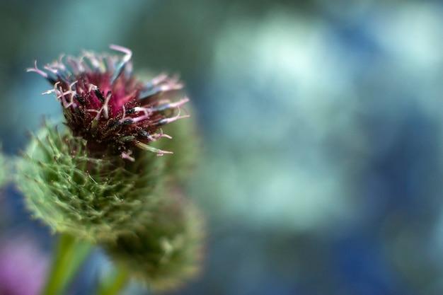 植物アルクチウムlappa、大きいゴボウ、食用ゴボウのクローズアップ Premium写真