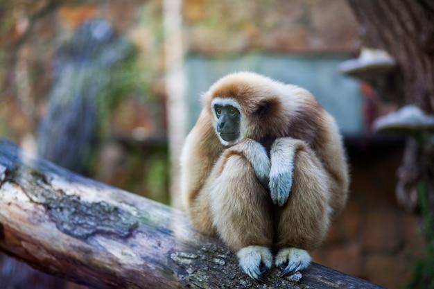 動物園で枝の上に座って白渡したテナガザルまたはlarギボンモンキーのクローズアップの肖像画 Premium写真
