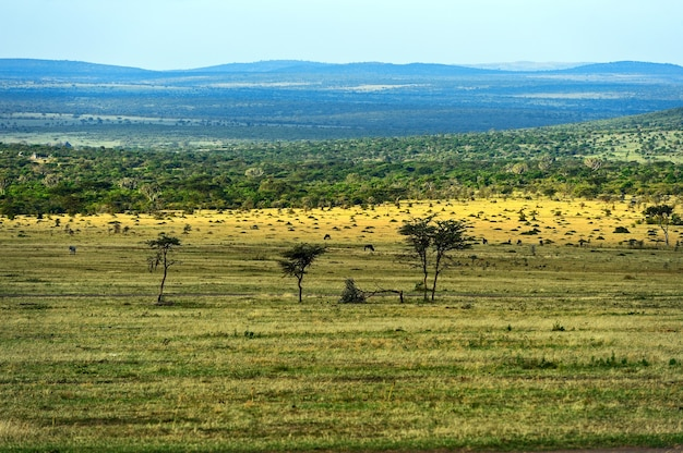 東アフリカの開いたサバンナ平原にある大きなアカシアの木 Premium写真