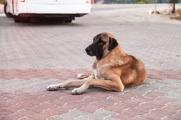 A large dog with sad eyes lies in anticipation. Premium Photo