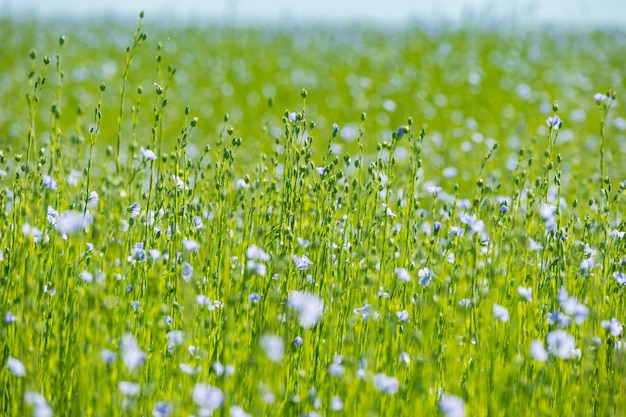 Large field of flax in bloom in spring Premium Photo
