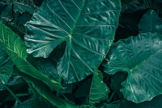 Large foliage of tropical leaf with dark green texture Premium Photo