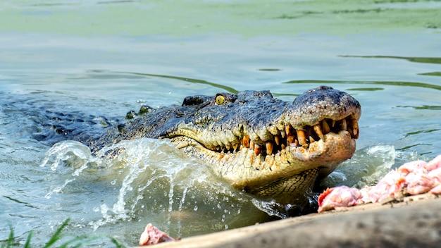 Large freshwater crocodile eating food Premium Photo