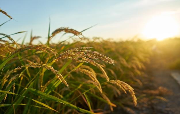 Grande campo di riso verde con piante di riso verde in file Foto Gratuite