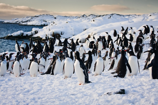 Large group of penguins Premium Photo