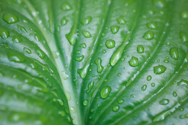 Large Leaf With Water Drops Large Beautiful Drops Of Transparent Rain Water On A Green Leaf Macro Beautiful Leaf Texture In Nature Natural Background Premium Photo