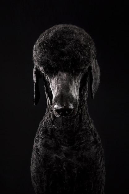 Большой портрет черного пуделя Premium Фотографии