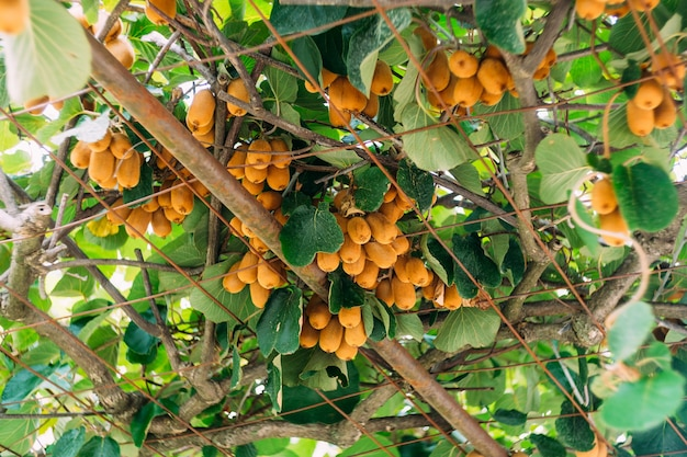 Large ripe brown kiwi fruit hang on a tree, on the roof of the gazebo Premium Photo