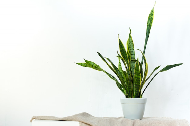 A large sansevieria plant in a light gray pot stands on natural fabric on white console opposite the white textural wall Premium Photo